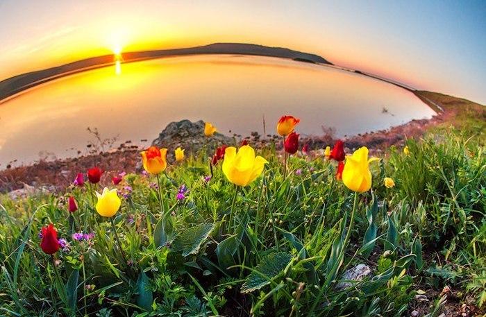 Дикие тюльпаны Крыма