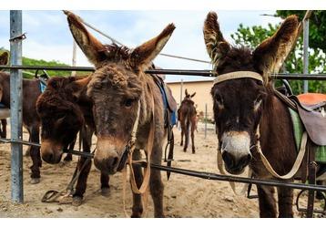 Ферма «Чудо ослик» приглашает – езда на ослах по горным маршрутам, зоопарк, свадьбы, корпоративы, фото — «Реклама Крыма»
